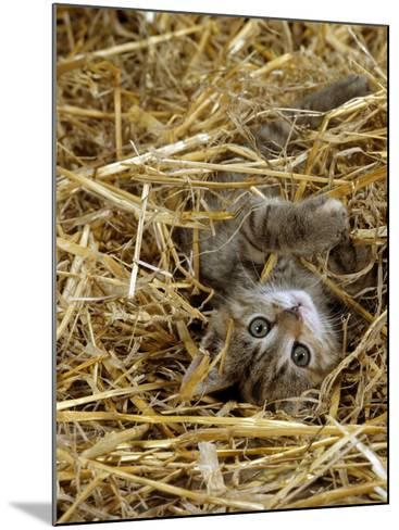 Domestic Cat, Tabby Farm Kitten Playing in Straw-Jane Burton-Mounted Photographic Print