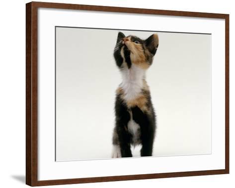 Domestic Cat, Kitten Looking Upwards-Jane Burton-Framed Art Print