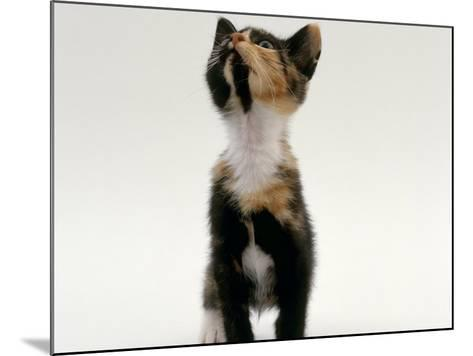 Domestic Cat, Kitten Looking Upwards-Jane Burton-Mounted Photographic Print