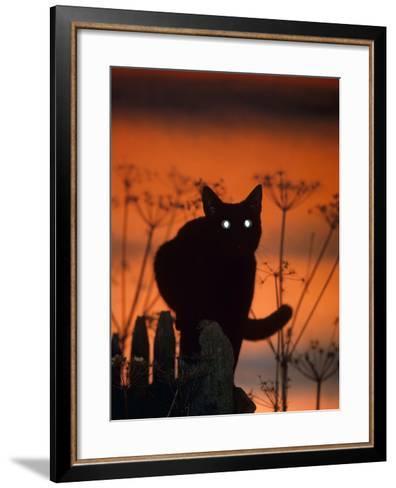 Black Domestic Cat, Silhoutte at Sunset with Eyes Reflecting Light-Jane Burton-Framed Art Print