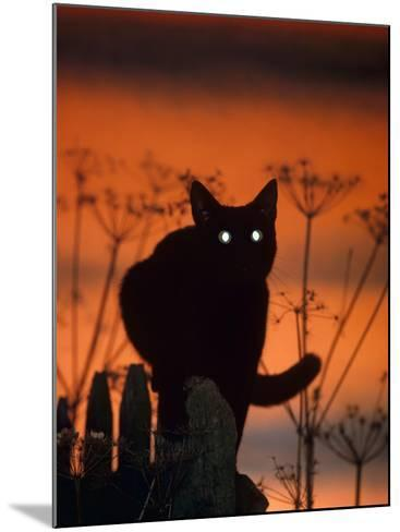 Black Domestic Cat, Silhoutte at Sunset with Eyes Reflecting Light-Jane Burton-Mounted Photographic Print