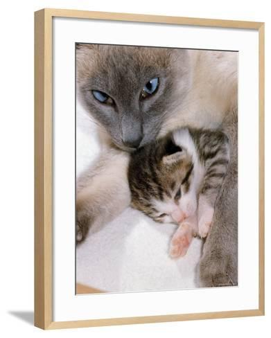 Domestic Cat, Cross Bred Tabby Kitten with Siamese Mother-Jane Burton-Framed Art Print