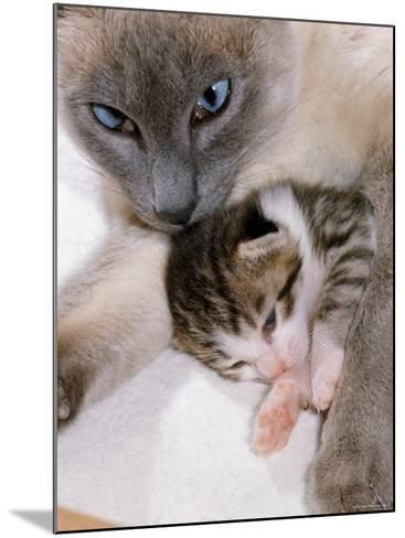 Domestic Cat, Cross Bred Tabby Kitten with Siamese Mother-Jane Burton-Mounted Photographic Print