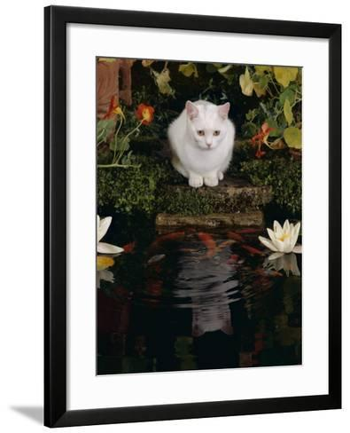 White Domestic Cat Watching Goldfish in Garden Pond-Jane Burton-Framed Art Print