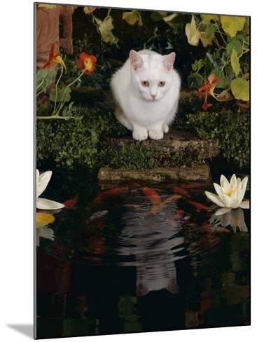 White Domestic Cat Watching Goldfish in Garden Pond-Jane Burton-Mounted Photographic Print