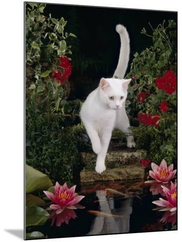 White Domestic Cat Watching Goldfish in Garden Pond-Jane Burton-Mounted Photographic Print