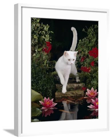 White Domestic Cat Watching Goldfish in Garden Pond-Jane Burton-Framed Art Print