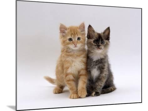 Domestic Cat, 8-Week, Fluffy Tortoiseshell and Ginger Kittens-Jane Burton-Mounted Photographic Print