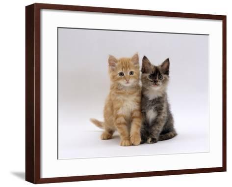 Domestic Cat, 8-Week, Fluffy Tortoiseshell and Ginger Kittens-Jane Burton-Framed Art Print