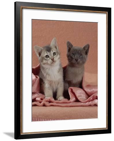 Domestic Cat, Blue Ticked Tabby and Burmese Kittens Under Pink Blanket, Bedroom-Jane Burton-Framed Art Print