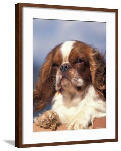 King Charles Cavalier Spaniel Adult Portrait-Adriano Bacchella-Framed Art Print