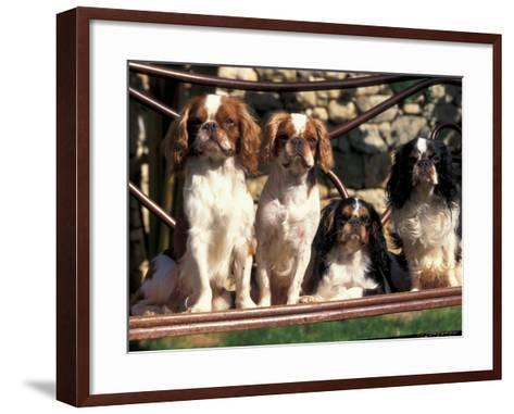 Four Young King Charles Cavalier Spaniels-Adriano Bacchella-Framed Art Print