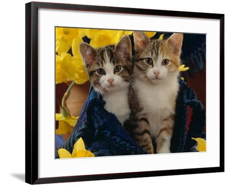 Domestic Cat, Two Tabby-Tortoiseshell-And-White Kittens in Blue Bag with Daffodils-Jane Burton-Framed Art Print