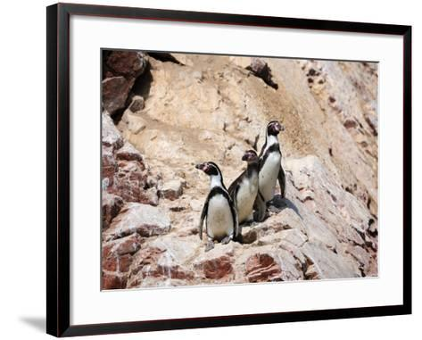 Humboldt Penguins on Isla Ballestas, Ballestas Islands, Peru-Eric Baccega-Framed Art Print