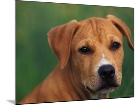 Pit Bull Terrier Puppy Portrait-Adriano Bacchella-Mounted Photographic Print