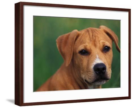 Pit Bull Terrier Puppy Portrait-Adriano Bacchella-Framed Art Print