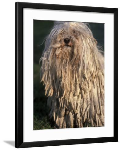 Puli / Hungarian Water Dog Portrait-Adriano Bacchella-Framed Art Print
