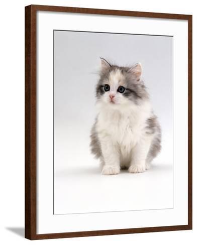 Domestic Cat, 6-Week, Chinchilla-Cross Kitten-Jane Burton-Framed Art Print