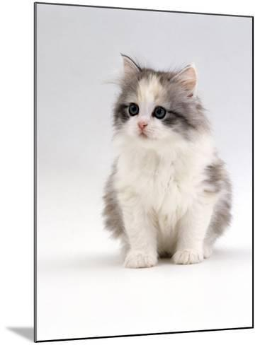Domestic Cat, 6-Week, Chinchilla-Cross Kitten-Jane Burton-Mounted Photographic Print