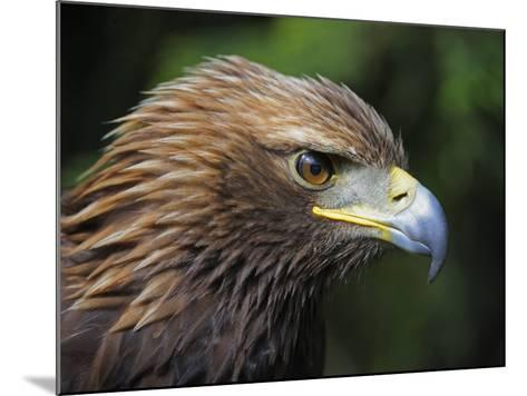 Head Portrait of Golden Eagle, France-Eric Baccega-Mounted Photographic Print