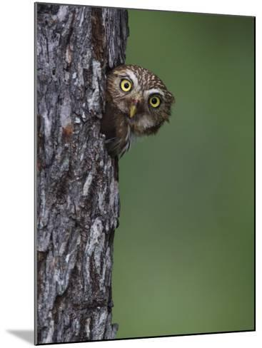 Ferruginous Pygmy Owl Adult Peering Out of Nest Hole, Rio Grande Valley, Texas, USA-Rolf Nussbaumer-Mounted Photographic Print