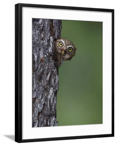 Ferruginous Pygmy Owl Adult Peering Out of Nest Hole, Rio Grande Valley, Texas, USA-Rolf Nussbaumer-Framed Art Print
