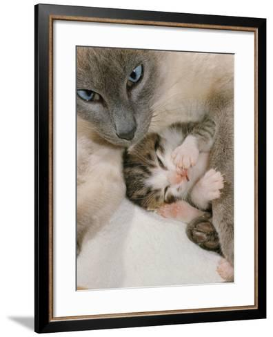 Domestic Cat, Stray Siamese Female with Single Kitten-Jane Burton-Framed Art Print