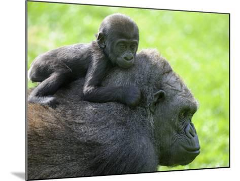 Western Lowland Gorilla Mother Carrying Baby on Her Back. Captive, France-Eric Baccega-Mounted Photographic Print