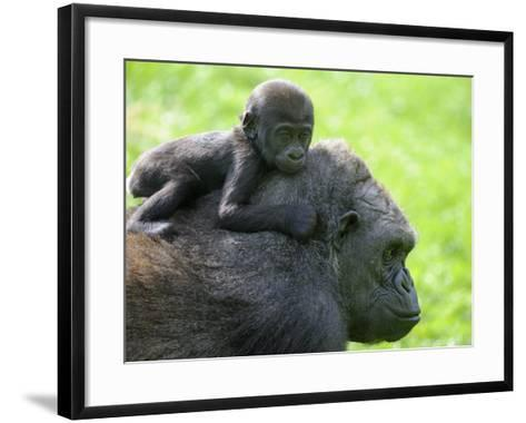 Western Lowland Gorilla Mother Carrying Baby on Her Back. Captive, France-Eric Baccega-Framed Art Print