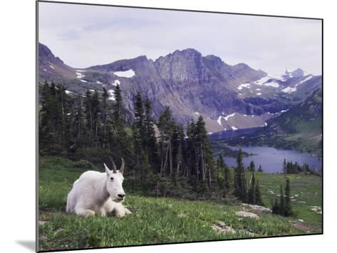 Mountain Goat Adult with Summer Coat, Hidden Lake, Glacier National Park, Montana, Usa, July 2007-Rolf Nussbaumer-Mounted Photographic Print