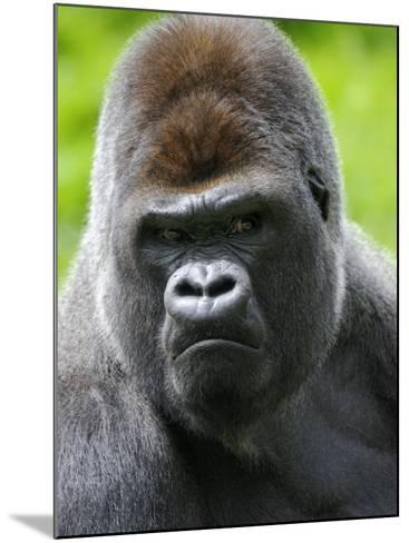 Head Portrait of Male Silverback Western Lowland Gorilla Captive, France-Eric Baccega-Mounted Photographic Print