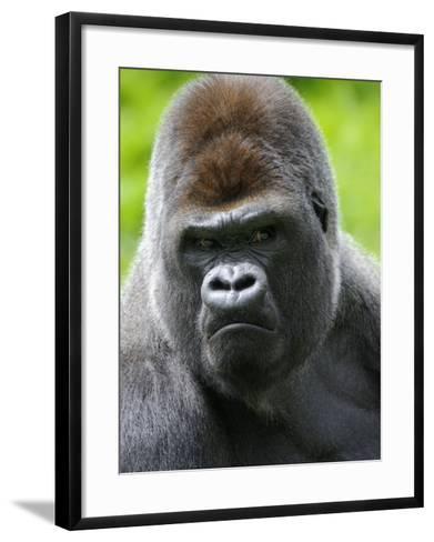 Head Portrait of Male Silverback Western Lowland Gorilla Captive, France-Eric Baccega-Framed Art Print