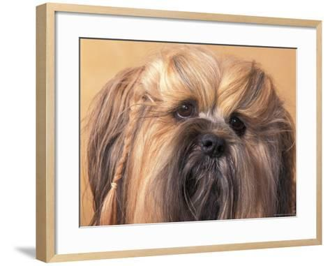 Lhasa Apso Face Portrait with Hair Plaited-Adriano Bacchella-Framed Art Print
