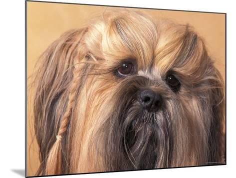 Lhasa Apso Face Portrait with Hair Plaited-Adriano Bacchella-Mounted Photographic Print