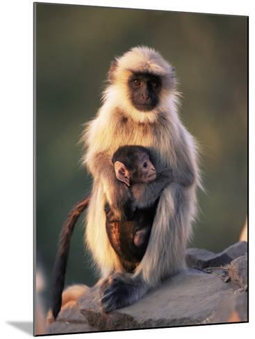 Hanuman Langur Adult Caring for Young, Thar Desert, Rajasthan, India-Jean-pierre Zwaenepoel-Mounted Photographic Print