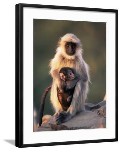 Hanuman Langur Adult Caring for Young, Thar Desert, Rajasthan, India-Jean-pierre Zwaenepoel-Framed Art Print