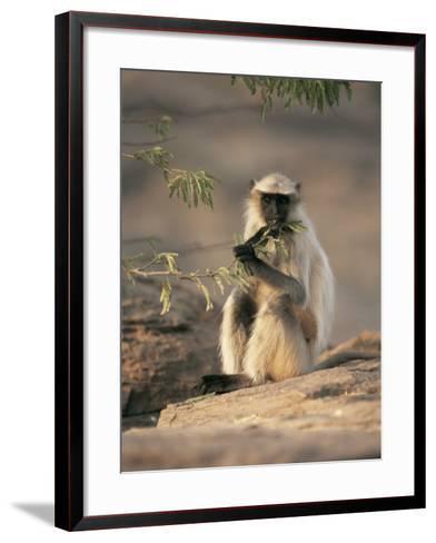 Hanuman Langur Juvenile Feeding on Acacia Leaves, Thar Desert, Rajasthan, India-Jean-pierre Zwaenepoel-Framed Art Print