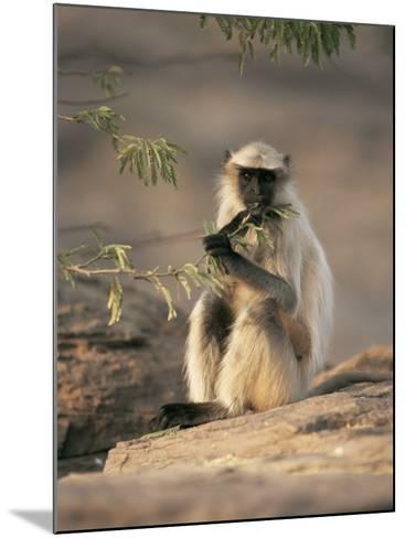 Hanuman Langur Juvenile Feeding on Acacia Leaves, Thar Desert, Rajasthan, India-Jean-pierre Zwaenepoel-Mounted Photographic Print