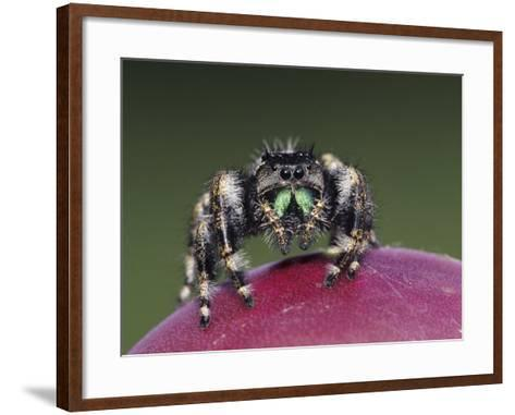Daring Jumping Spider Adult on Fruit of Texas Prickly Pear Cactus Rio Grande Valley, Texas, USA-Rolf Nussbaumer-Framed Art Print