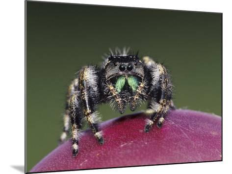 Daring Jumping Spider Adult on Fruit of Texas Prickly Pear Cactus Rio Grande Valley, Texas, USA-Rolf Nussbaumer-Mounted Photographic Print