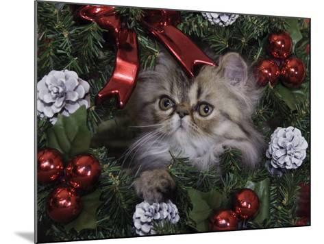 Persian Cat Brown Tabby Kitten Amongst Christmas Decorations, Texas, USA-Rolf Nussbaumer-Mounted Photographic Print