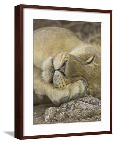 Sleeping African Lioness, South Luangwa, Zambia-T^j^ Rich-Framed Art Print