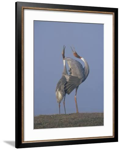 Sarus Cranes Pair Displaying, Unison Call, Keoladeo Ghana Np, Bharatpur, Rajasthan, India-Jean-pierre Zwaenepoel-Framed Art Print