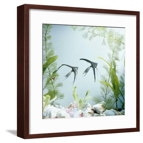 Angelfish Melanic Veiltail 'Black Lace' Variety, from Rivers of Amazon Basin, South America-Jane Burton-Framed Art Print