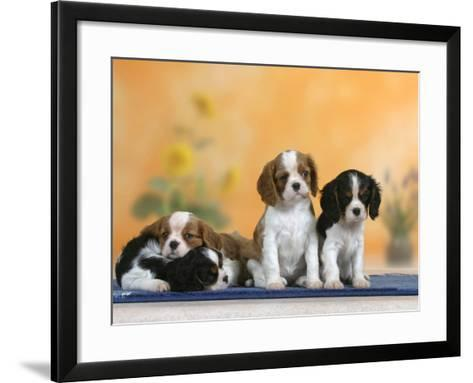Domestic Dogs, Four Cavalier King Charles Spaniel Puppies, 7 Weeks Old, of Different Colours-Petra Wegner-Framed Art Print