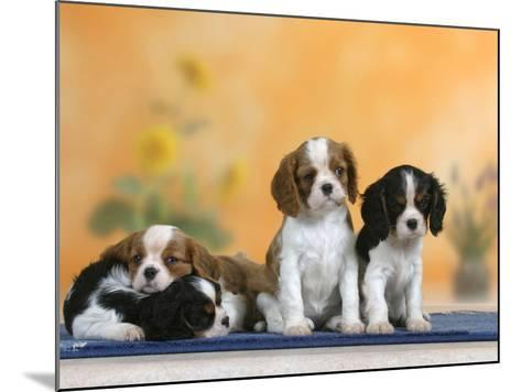 Domestic Dogs, Four Cavalier King Charles Spaniel Puppies, 7 Weeks Old, of Different Colours-Petra Wegner-Mounted Photographic Print