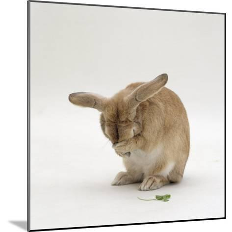 Female Sandy Lop-Eared Rabbit Grooming, Washing Her Face-Jane Burton-Mounted Photographic Print