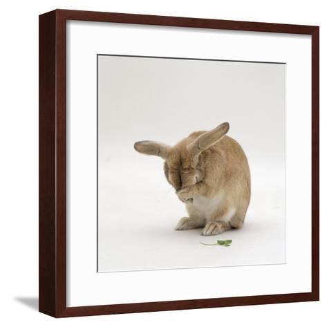 Female Sandy Lop-Eared Rabbit Grooming, Washing Her Face-Jane Burton-Framed Art Print