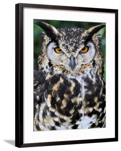 Head Portrait of Spotted Eagle-Owl Captive, France-Eric Baccega-Framed Art Print