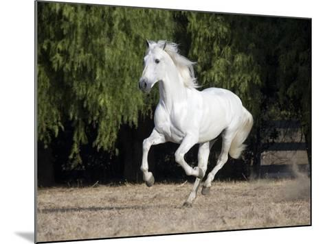 Grey Andalusian Stallion Cantering in Field, Ojai, California, USA-Carol Walker-Mounted Photographic Print